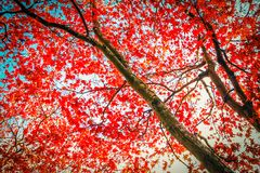 Red Japanese Maple tree in the park. Beautiful, autumnal red Japanese maple tree canopy as beautiful background royalty free stock image