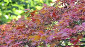 Red japanese maple tree stock video