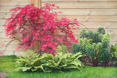Red japanese maple tree. In a zen garden Stock Photos