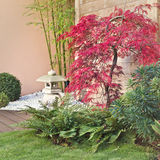 Red japanese maple tree Stock Photo