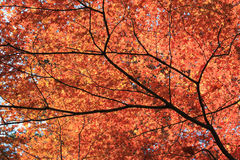 Red Japanese Momiji in Fall Royalty Free Stock Photo