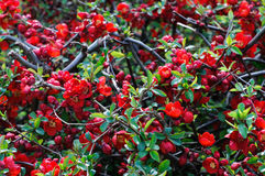 Red Japanese Quince - Chaenomeles speciosa. Background royalty free stock photos