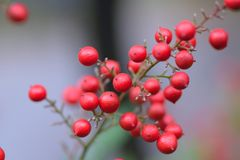 Red Japanese winter fruits stock photography