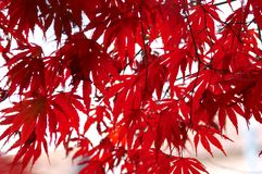 Red japanesemaple Royalty Free Stock Photo