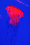 Red jellyfish Royalty Free Stock Photos