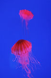 Red jellyfish Royalty Free Stock Images