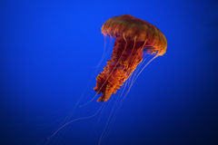 Free Red Jellyfish Royalty Free Stock Photography - 71383677