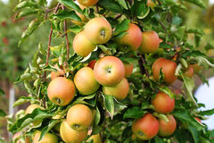 Red jonagold apples on apple tree branch. Stock Photo