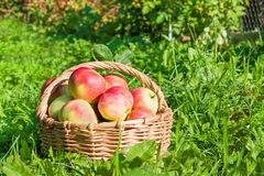 Red juicy apples in the autumn Stock Images