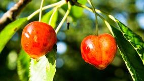 Red juicy cherries. After rain Stock Photos
