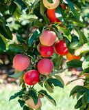 Red, juicy gala apples Stock Photo