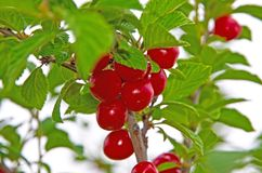Red, juicy, ripe cherry berries. Growing on a tree. Close-up royalty free stock photography