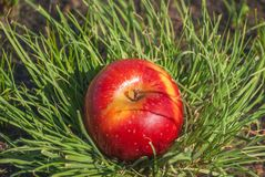 Red juicy solid apple fruit lying under sunlight on green grass. Concept of natural nutrition organic healthy food diet,. Red juicy solid apple fruit under stock photos