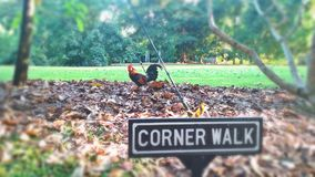 Red jungle fowl. Rooster at Corner Walk in botanic gardens, Singapore Stock Image