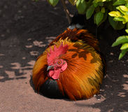 Red Jungle fowl royalty free stock photo
