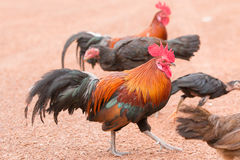 Red jungle fowl Stock Photos