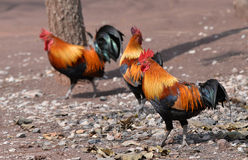 Red Jungle fowl stock photo
