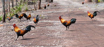 Red Jungle fowl royalty free stock images