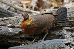 Red junglefowl Gallus gallus Beautiful Female Birds of Thailand Royalty Free Stock Photography
