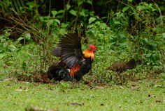 Red junglefowl (Gallus gallus) Royalty Free Stock Photos