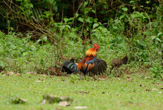 Red junglefowl (Gallus gallus) Royalty Free Stock Images