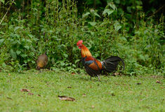 Red junglefowl (Gallus gallus) Royalty Free Stock Photography