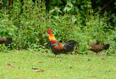 Red junglefowl (Gallus gallus) Stock Photography