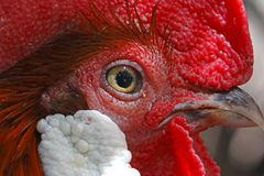 Red junglefowl Gallus gallus Male Birds eye Close-up Royalty Free Stock Photos