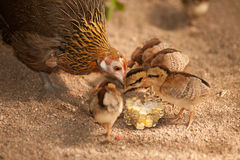 Red junglefowl mother heath tutoring children eat seeds. Royalty Free Stock Image