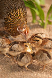 Red junglefowl mother heath tutoring children eat seeds. Stock Photo
