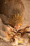 Red junglefowl mother heath tutoring children eat seeds. Stock Photography