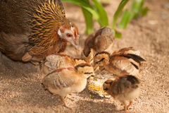 Red junglefowl mother heath tutoring children eat seeds. Royalty Free Stock Photography