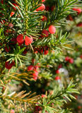 Red juniper berries on twig Royalty Free Stock Images