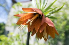 Red Kaisers Crown in bloom, Fritillaria imperialis in spring garden royalty free stock images