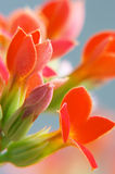 Red kalanchoe. Close-up lens x2 Stock Photography