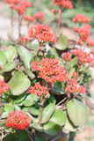 Red Kalanchoe Bloom Stock Photo