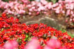Red Kalanchoe blossfeldiana is bokeh flowers background(Selectiv Stock Photos