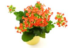 Red  Kalanchoe flower  Stock Images