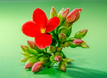 Red Kalanchoe flower, family Crassulaceae, close up, green background. Royalty Free Stock Image
