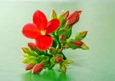 Red Kalanchoe flower, family Crassulaceae, close up, green background. Stock Photo