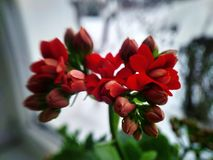 Red kalanchoe flower with green on the window stock photo