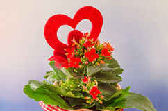 Red Kalanchoe flowers with red heart shape, blue degradee background, close up. Stock Photo