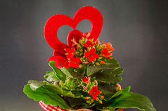 Red Kalanchoe flowers with red heart shape, dark background, close up. Stock Photos