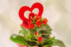 Red Kalanchoe flowers with red heart shape, light hearts background, close up. Stock Images