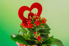 Red Kalanchoe flowers with red heart shape in a red flower ceramic pot with bow, green degradee background, close up Royalty Free Stock Photo