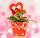 Red Kalanchoe flowers with red heart shape in a red flower ceramic pot with bow, pink bokeh background, close up Stock Image
