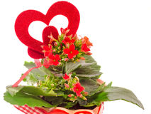 Red Kalanchoe flowers with red heart shape, white background, close up. Stock Photos