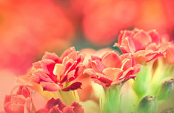 Red kalanchoe flowers used as background Stock Photography