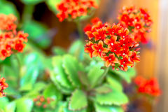 Red kalanchoe Stock Photography