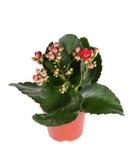 Red kalanchoe plant. On white background Royalty Free Stock Photo